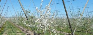 White blossoms on trellised apple trees