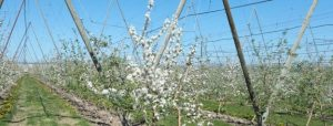 Spring photo of white blossoms on trellised apple trees and blue sky.