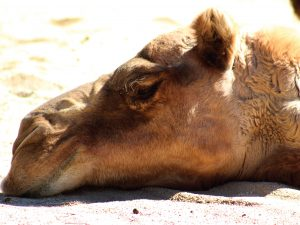 Photo of a camel's head lying in the sand.